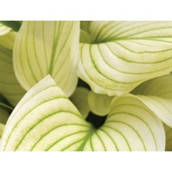 Funkia Hosta White Feather
