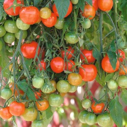 Pomidor zwisający balkonowy...