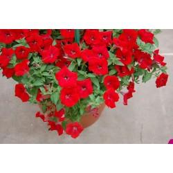 Petunia Hybrida Sanguna Red