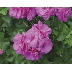 Pelargonium x peltatum...