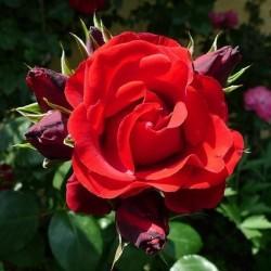Róża pnąca Sympathie...