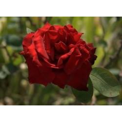 Róża wielkokwiatowa Mr...