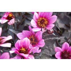 Dahlia x hortensis  Dalia...