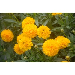 Coreopsis Nachyłek Golden...