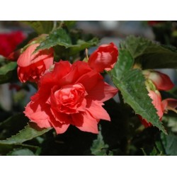 Begonia Belleconia Salmon...