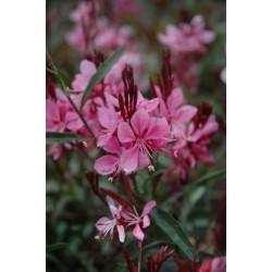 Gaura Flamingo  Pink kwiaty...