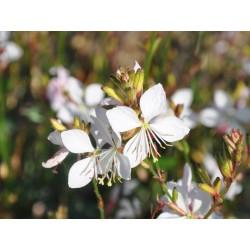 Gaura Flamingo White kwiaty...