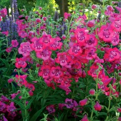 Penstemon Cha Cha Hot Pink...
