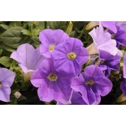 Petunia  Veranda  Sky Blue