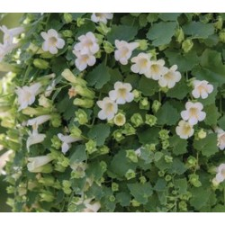 Lofos Lophospermum hybridu...