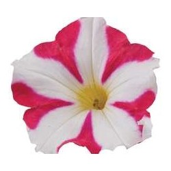 Petunia Amore Cherry...
