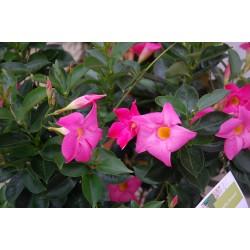 Mandevilla Hybrida Rio Pink...