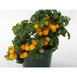 Pomidor niski żółty...