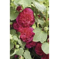 Malwa różowa Chaters Scarlet