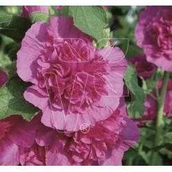 Malwa różowa Chaters Violet
