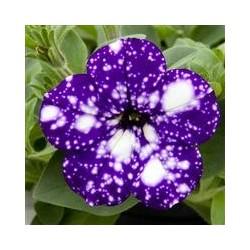 Petunia Selecta Special...