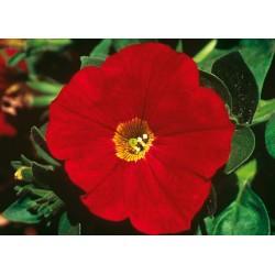 Petunia AlpeTunia Red...