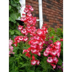 Penstemon Hartwega Phoenix Red