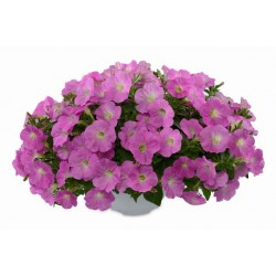 Petunia Ray Baroque Pink