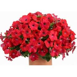 Petunia Ray Red