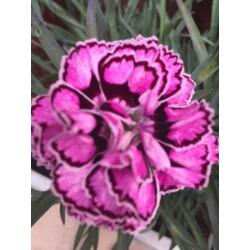 Dianthus  Goździk Pink Kisses