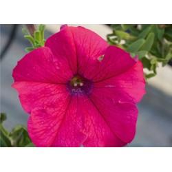 Petunia  AlpeTunia Hot Pink