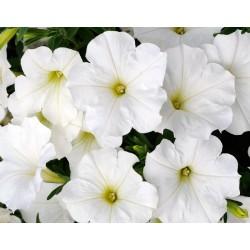 Petunia selecta Bonnie White
