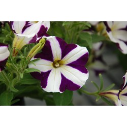 Petunia  Amore Purple Heart...
