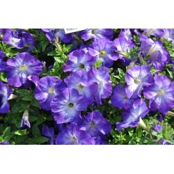 Petunia Collection Blue Morn