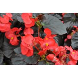 Begonia Big  DeluxxeF1 Red...