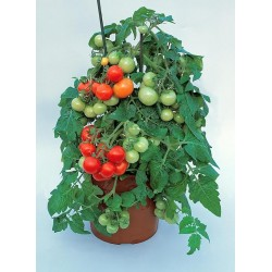 Pomidor balkonowy Solanum...
