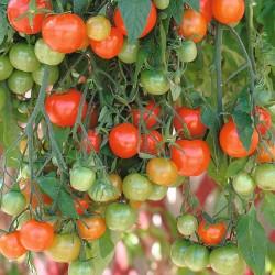 Pomidor F1 Solanum...