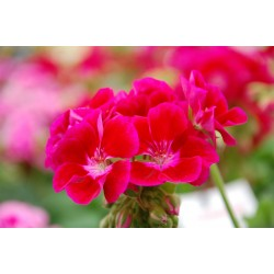 Pelargonia  Calliope Red...
