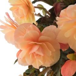Begonia Pachnąca Fragrant...