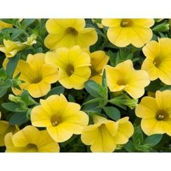 Calibrachoa  żółta sel....