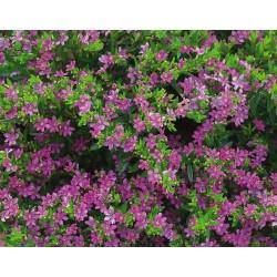 Cuphea hyssopifolia Pink...