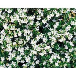 Cuphea hyssopifolia White...