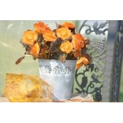 Begonia tuberhybrida...