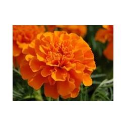 Aksamitka Rozpierzchła Orange