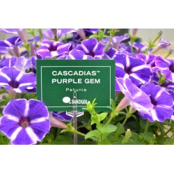 Petunia Cascadias Purple Gem