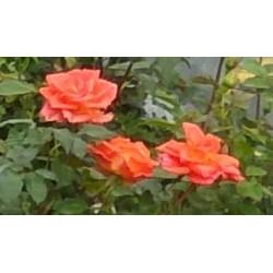 Róża wielkokwiatowa Monica...