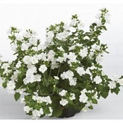 Bacopa  Baristo Double White