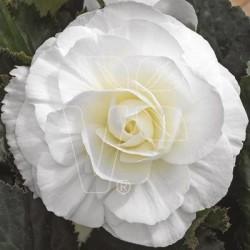 Begonia x tuberhybrida...