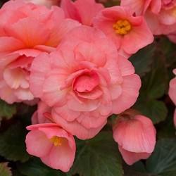 Begonia Pachnąca różowa...
