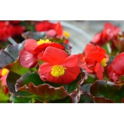 Begonia x semperflorens...