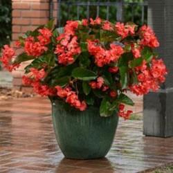 Begonia hybrida Megawatt...