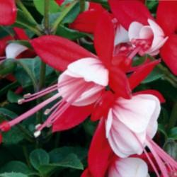 Fuksja Fuchsia x hybrida...