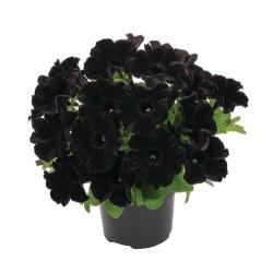 Petunia czarna Collection...