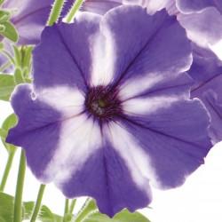 Petunia x hybrida Viva Blue...