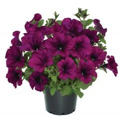 Petunia x hybrida Viva Purple
